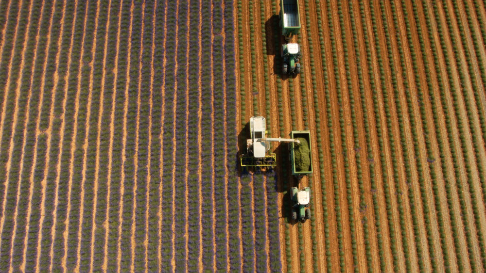 aerial picture of lavender harvest in france