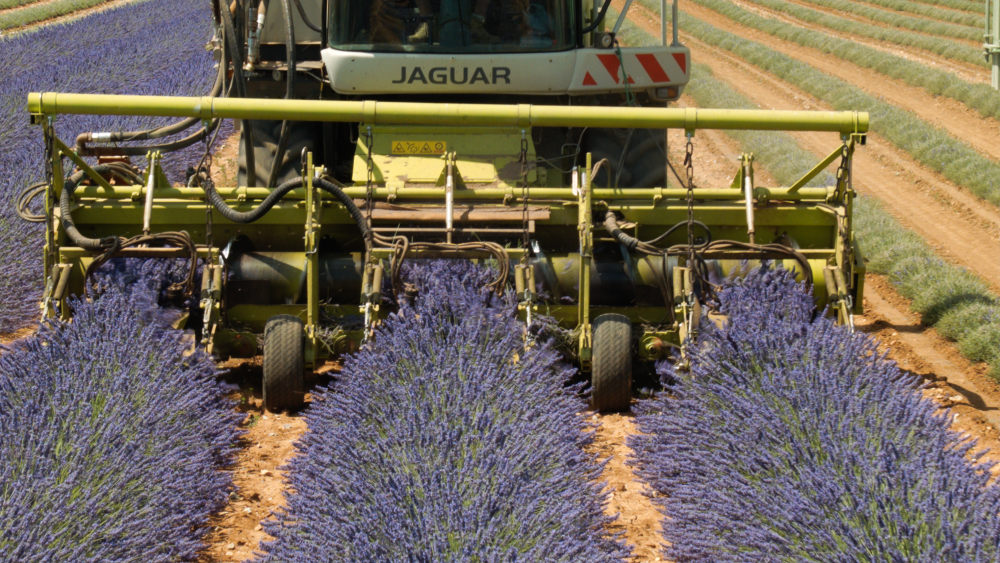 lavender harvest in provence, france